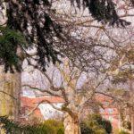 Platane mit Krokuswiese in Zittau